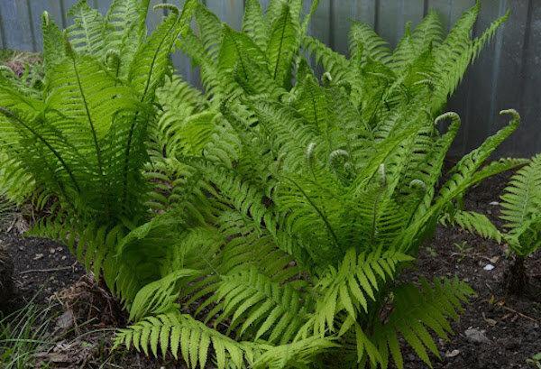 5 агрессивных растений, которые не стоит высаживать в огороде. Часть 4