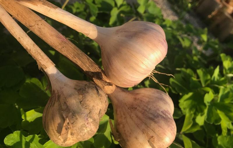 Секрет 🧐 грядки для чеснока - рассказываю, о чем молчат агрономы и опытные огородники